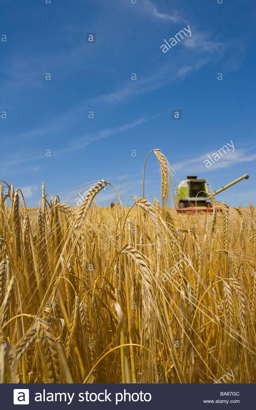La cosechadora en el campo de la cebada Imagen De Stock