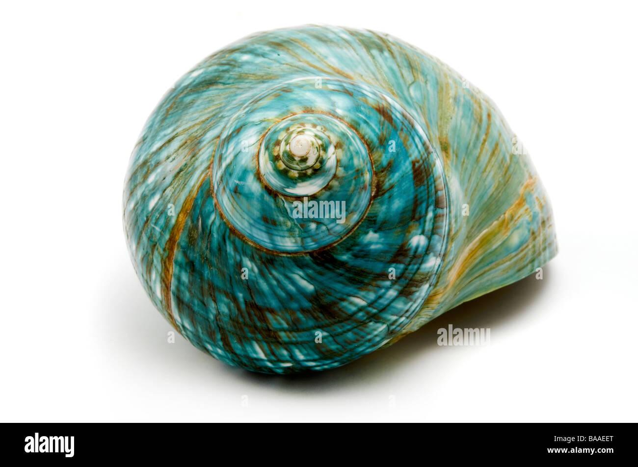 Mar azul shell sobre un fondo blanco. Imagen De Stock