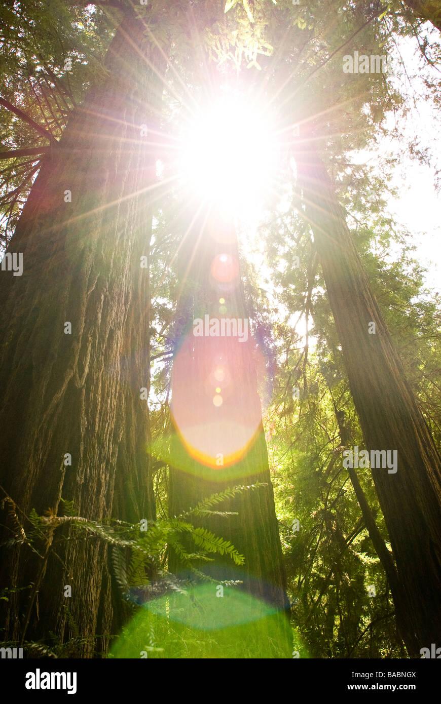 Bosque de secuoyas en California Foto de stock