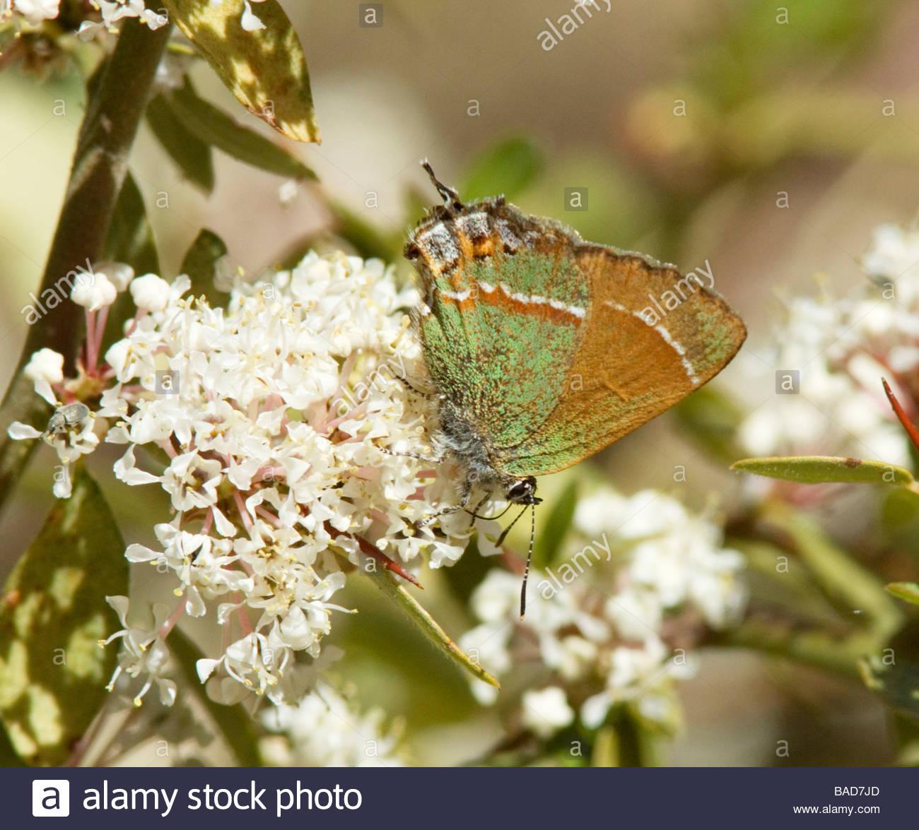 Siva Juniper Hairstreak Callophrys gryneus Mitoura gryneus siva alimentar flores blancas mariposa Foto de stock