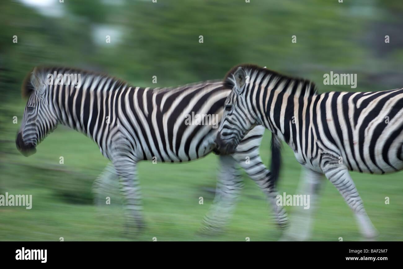 Zebra en movimiento, el Parque Nacional Kruger, Sudáfrica Imagen De Stock