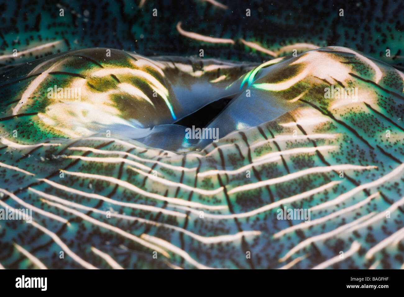Iridescent Manto de la almeja gigante Tridacna squamosa Micronesia, Palau Imagen De Stock