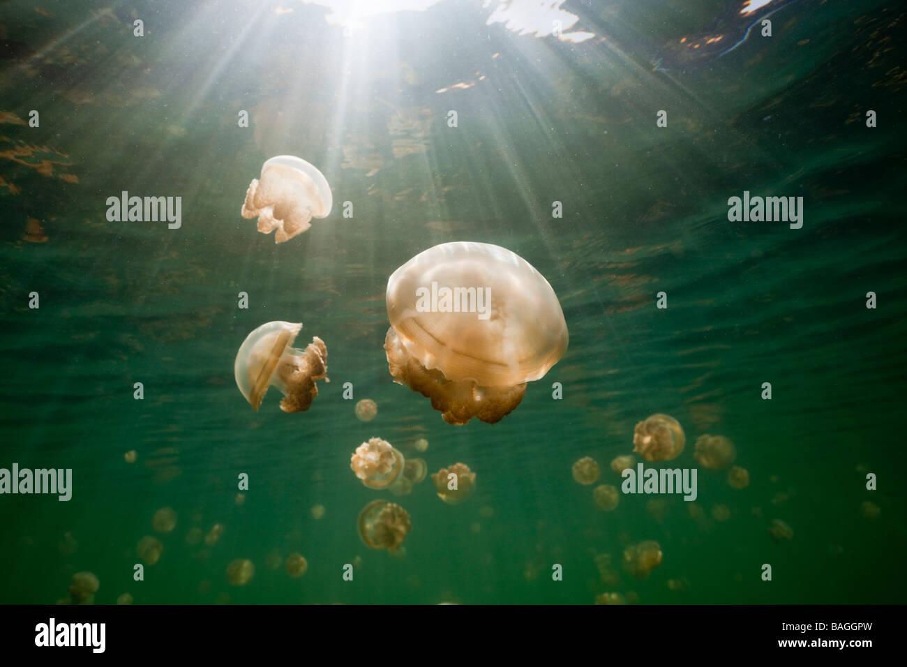 Endémica Mastigias medusas Mastigias papua etpisonii Jellyfish Lake, Micronesia, Palau Foto de stock