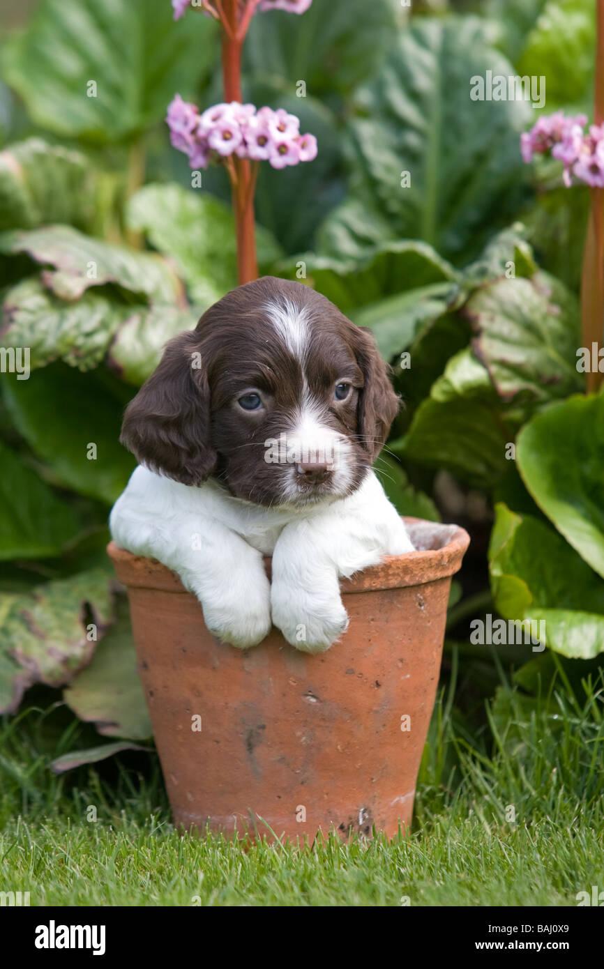 Spaniel cachorro en una maceta Foto de stock