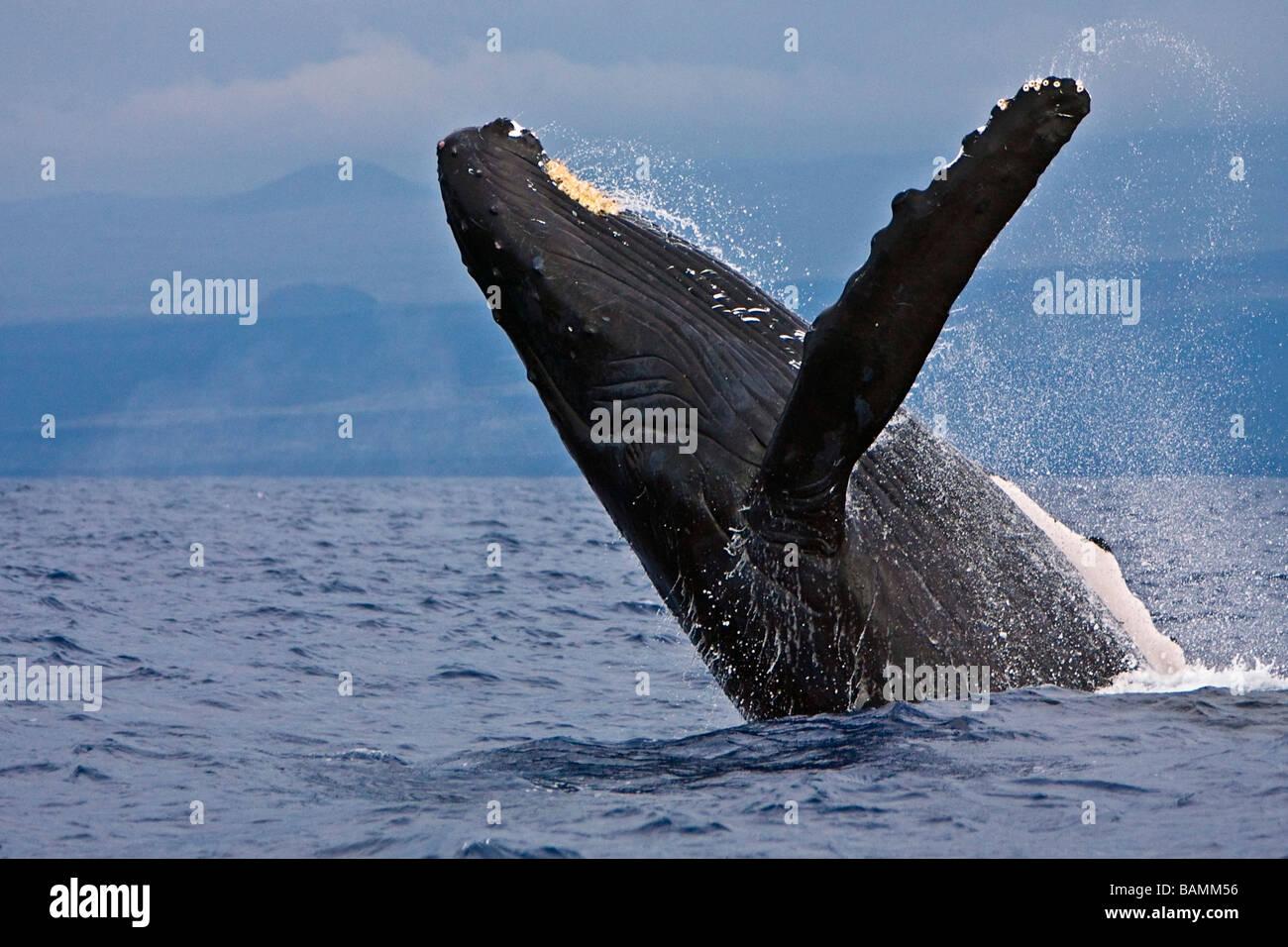 La ballena jorobada, Megaptera novaeangliae Imagen De Stock