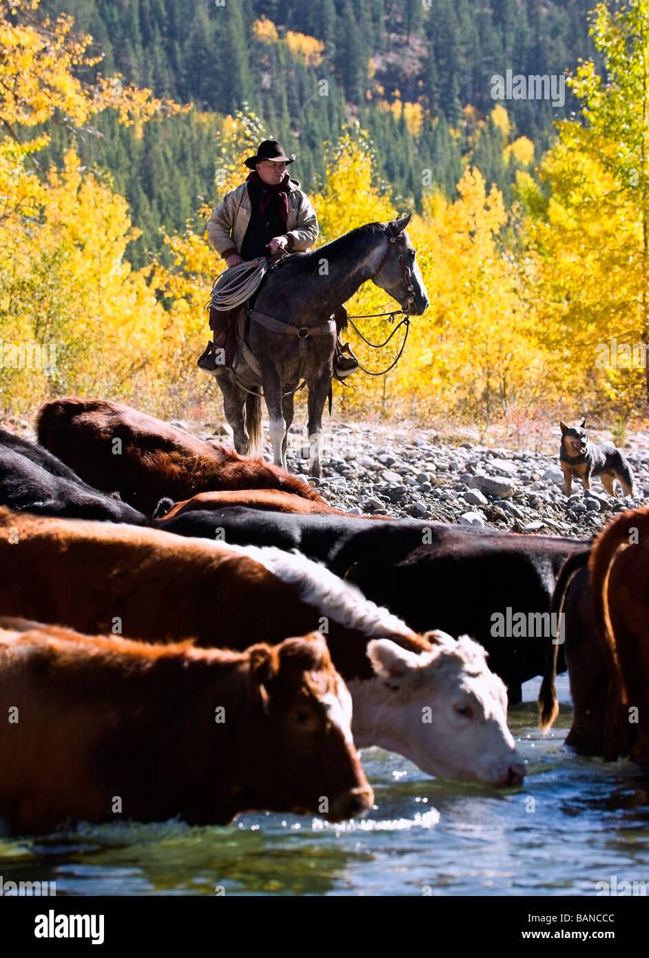 Cowboy arrear ganado a través de río, Alberta, Canadá Foto de stock