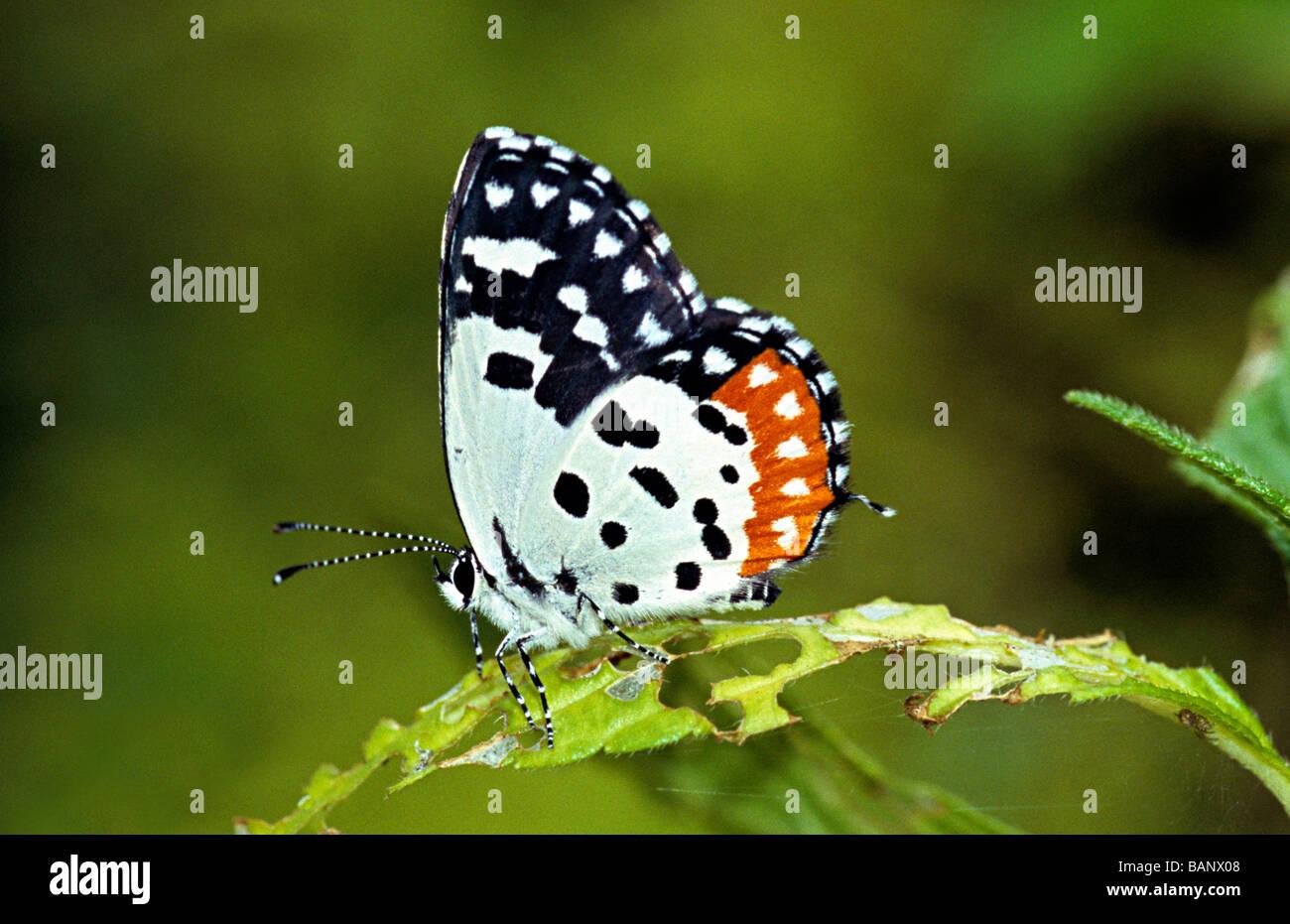 Pierrot Talicada nyseus roja de bosque, Amboli Maharasthra, India. Lycaenidae : Blues Imagen De Stock