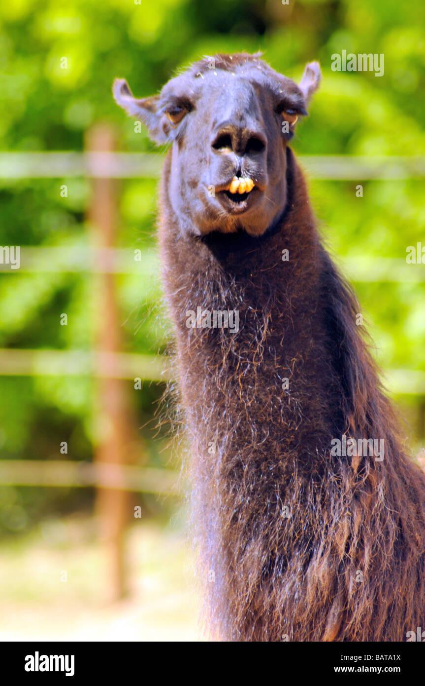 llama Goofy Foto de stock