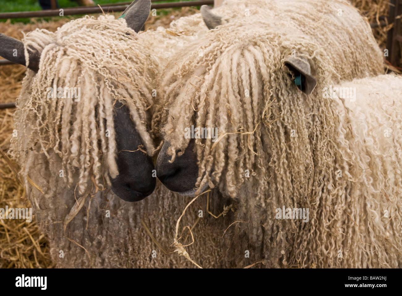 Dos Wensleydale ovejas. Una rara especie de ovejas de los valles de Yorkshire. Imagen De Stock
