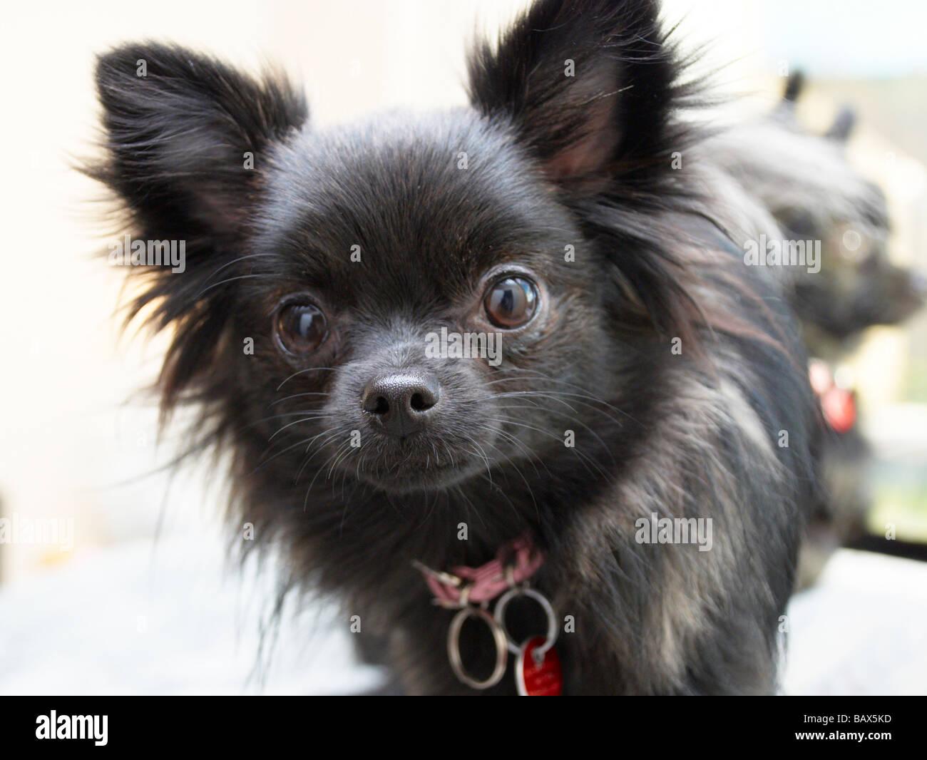 Black Pomeranian Imágenes De Stock & Black Pomeranian Fotos De Stock ...