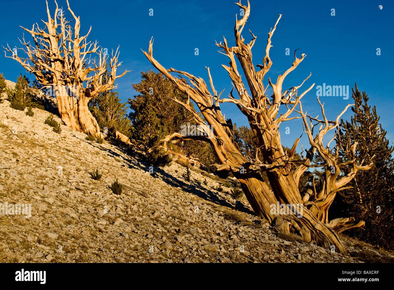 Antiguos pinos bristlecone en las Montañas Blancas de California Foto de stock