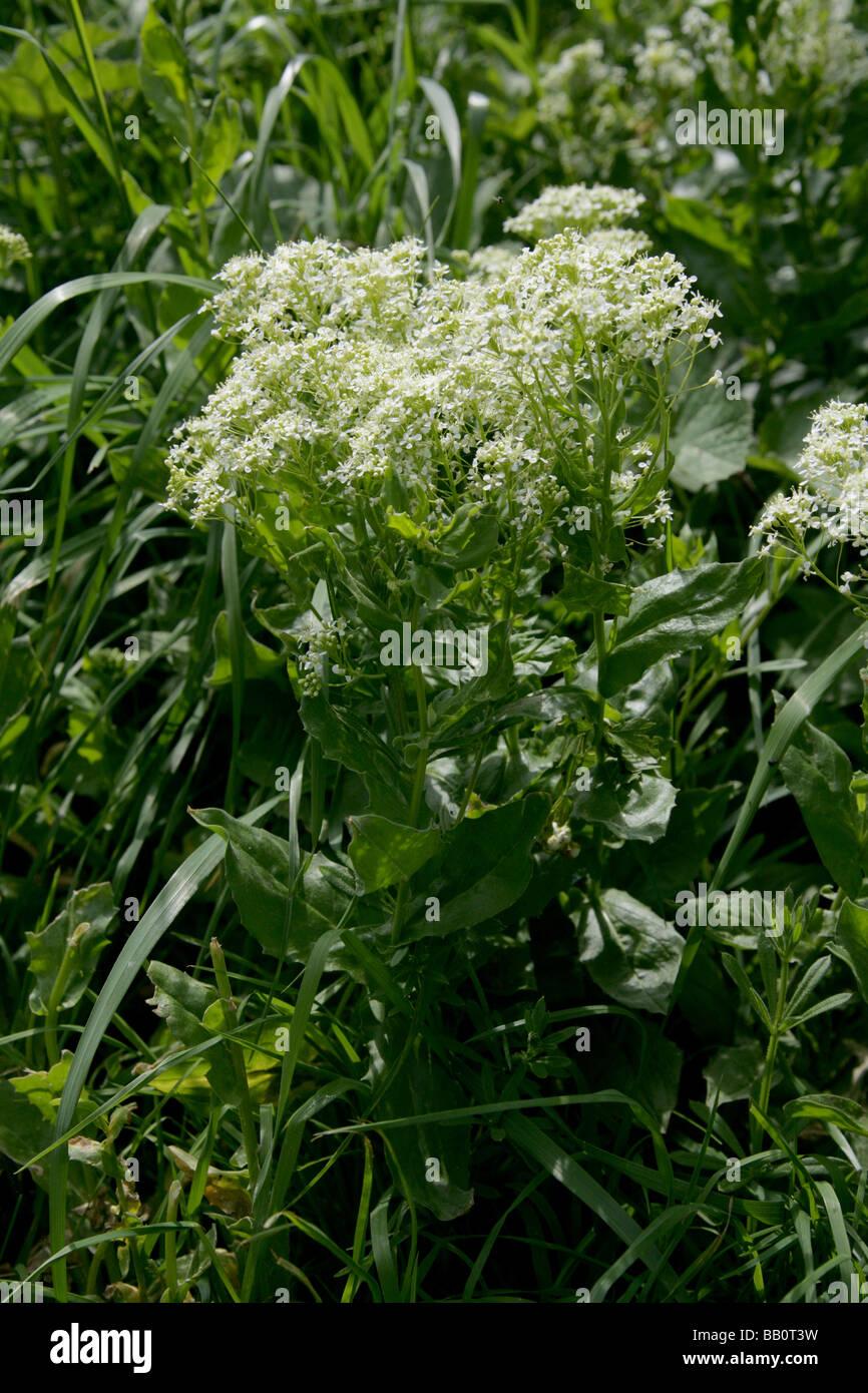Berro, Cardaria draba canosos, Brassicaceae Foto de stock