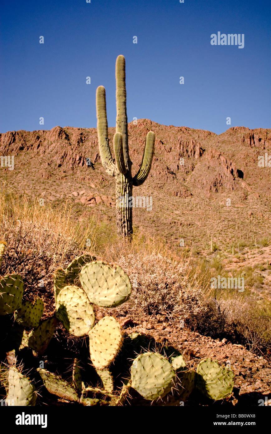 Dos tipos de Cactus Saguaro National Park en Tucson, Arizona. Imagen De Stock