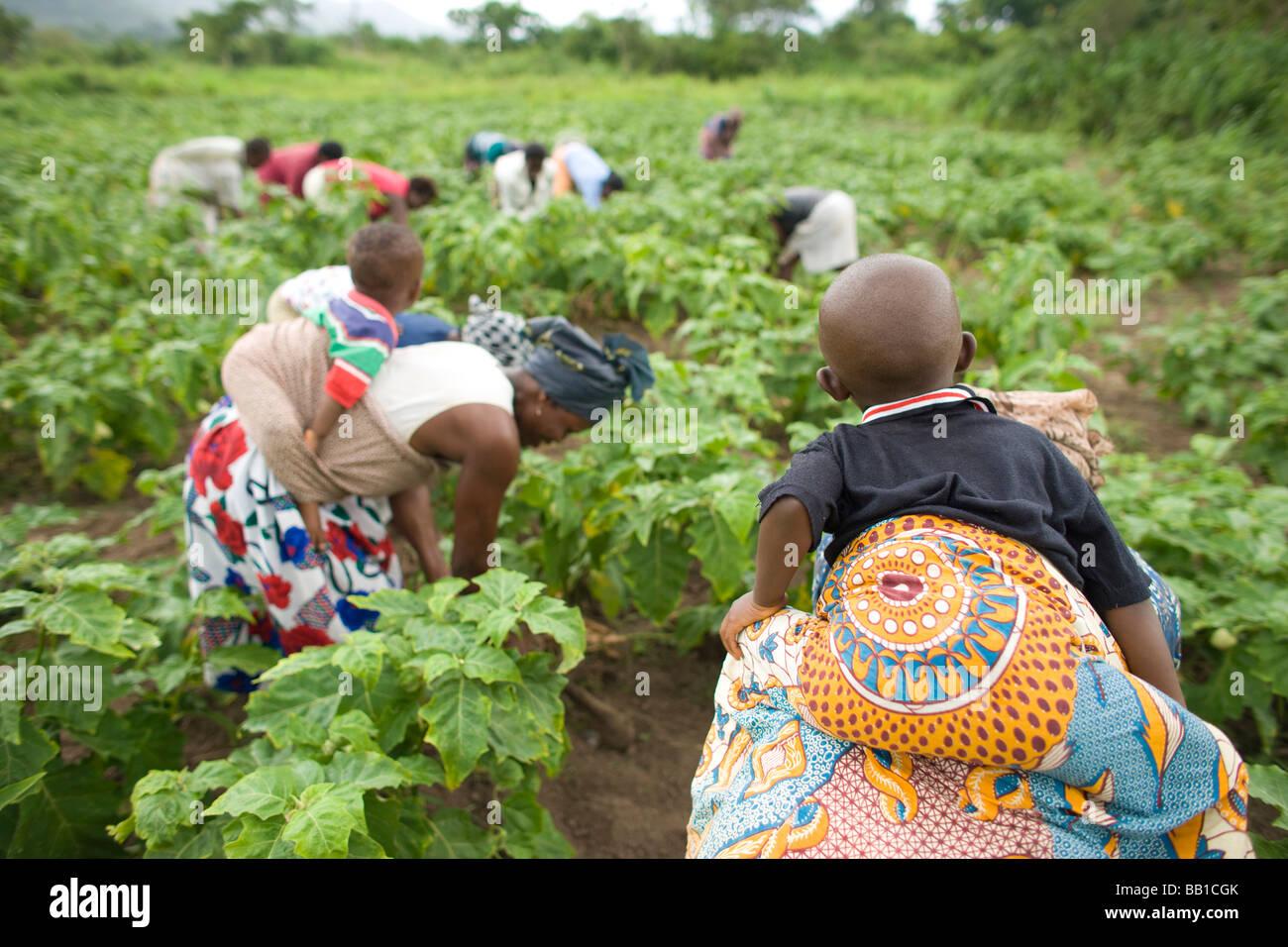 Las mujeres que trabajan en el campo con los niños sobre sus espaldas, Ghana, África. Imagen De Stock