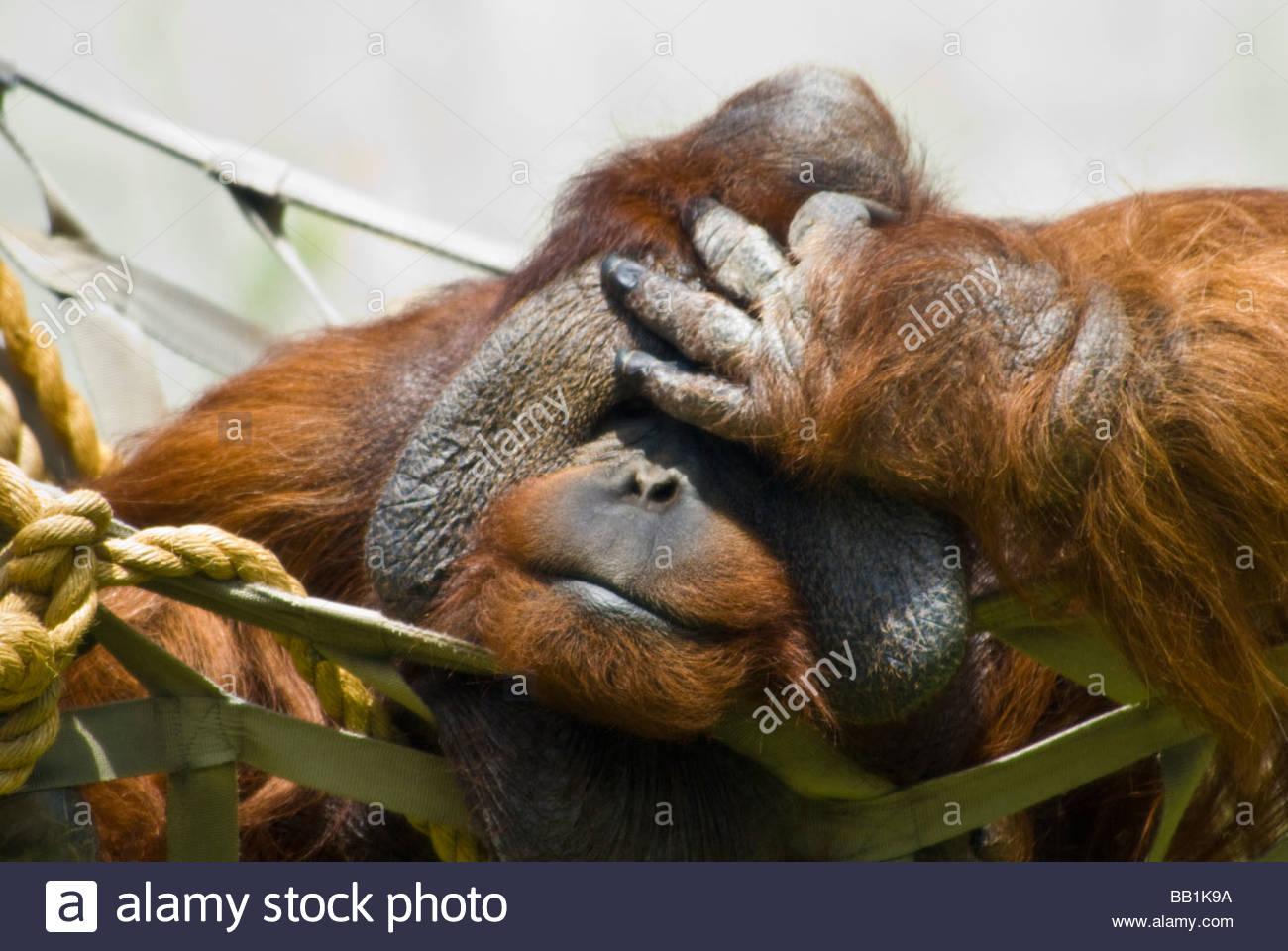 Orangután de Sumatra sosteniendo su cabeza, Pongo pygmaeus, Zoológico de Denver, Colorado, EE.UU. Imagen De Stock