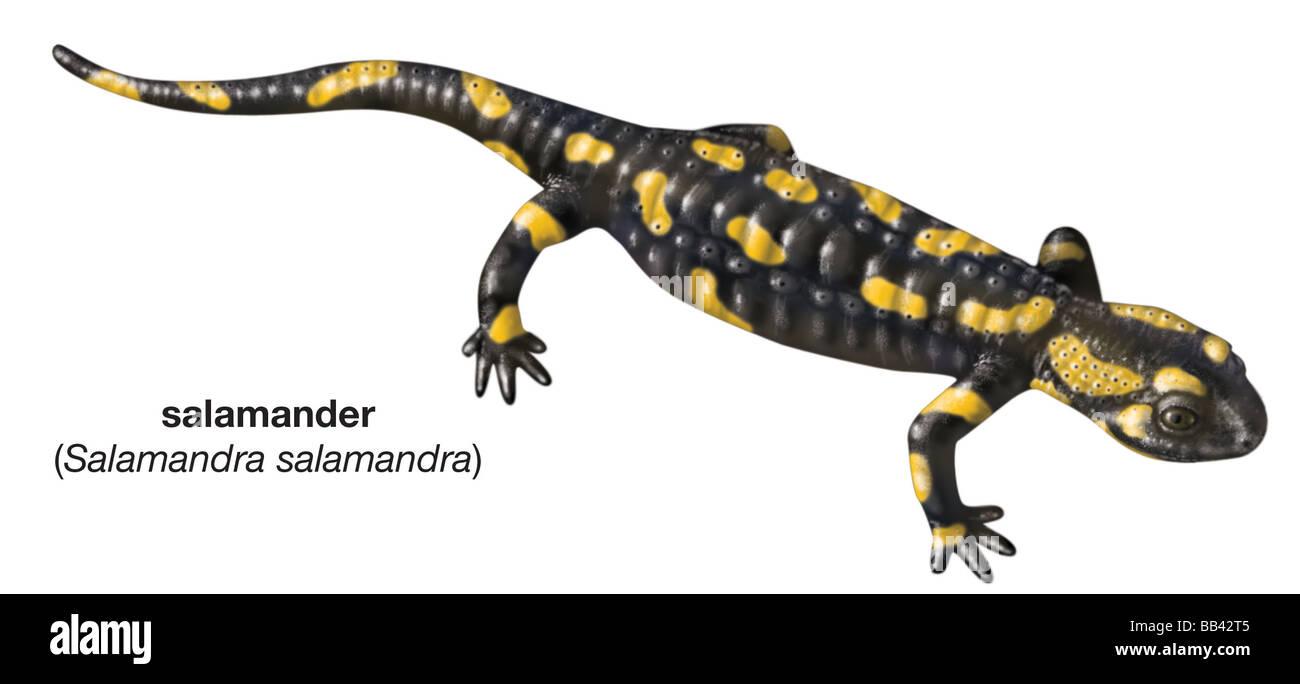 Salamandra S Salamandra Imágenes De Stock & Salamandra S Salamandra ...