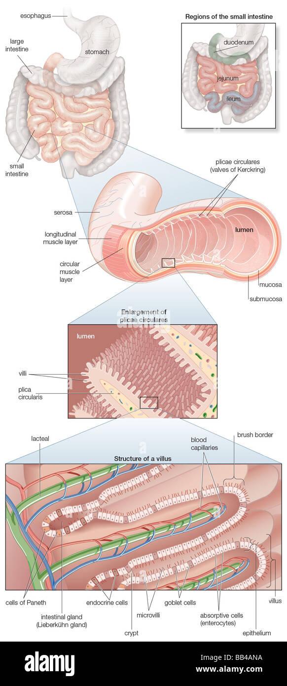 Diagrama del intestino humano, con las inserciones de la musculatura ...