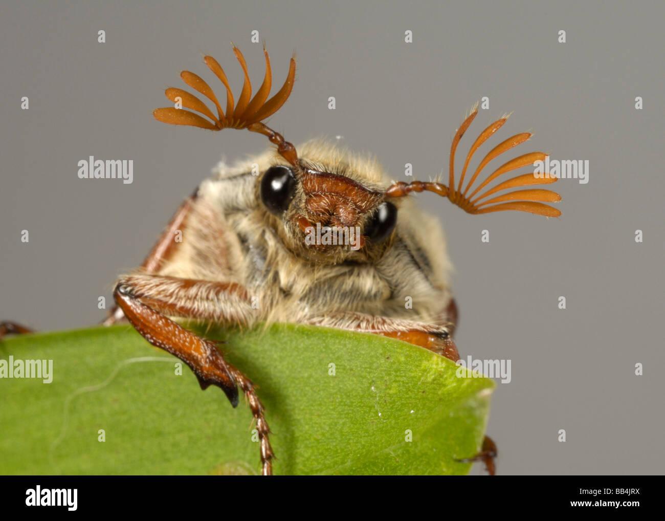Cabeza y antenas de un adulto cockchafer Melolontha melolontha o bug en una hoja Foto de stock