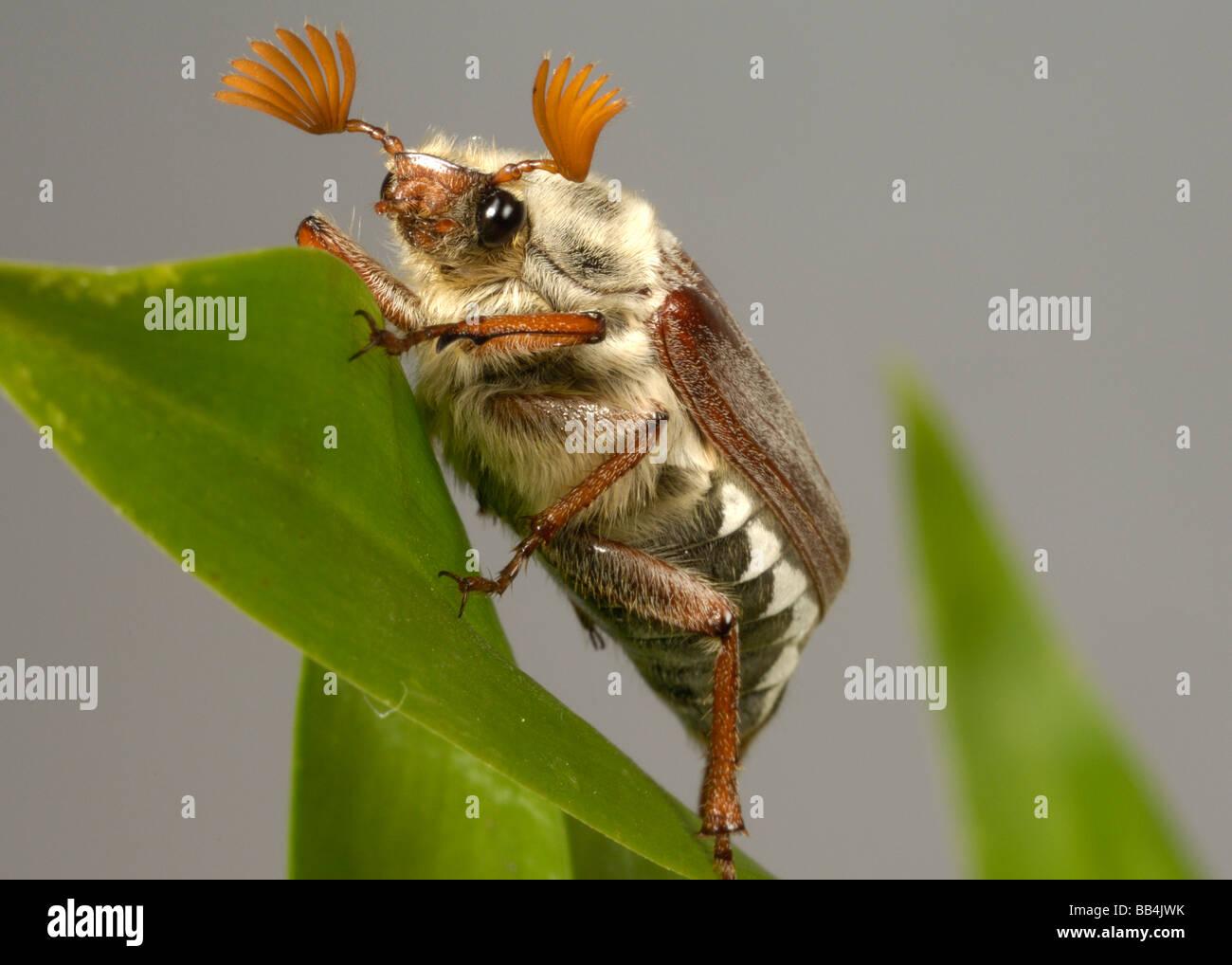 Melolontha melolontha cockchafer adultos o bug en una hoja Foto de stock