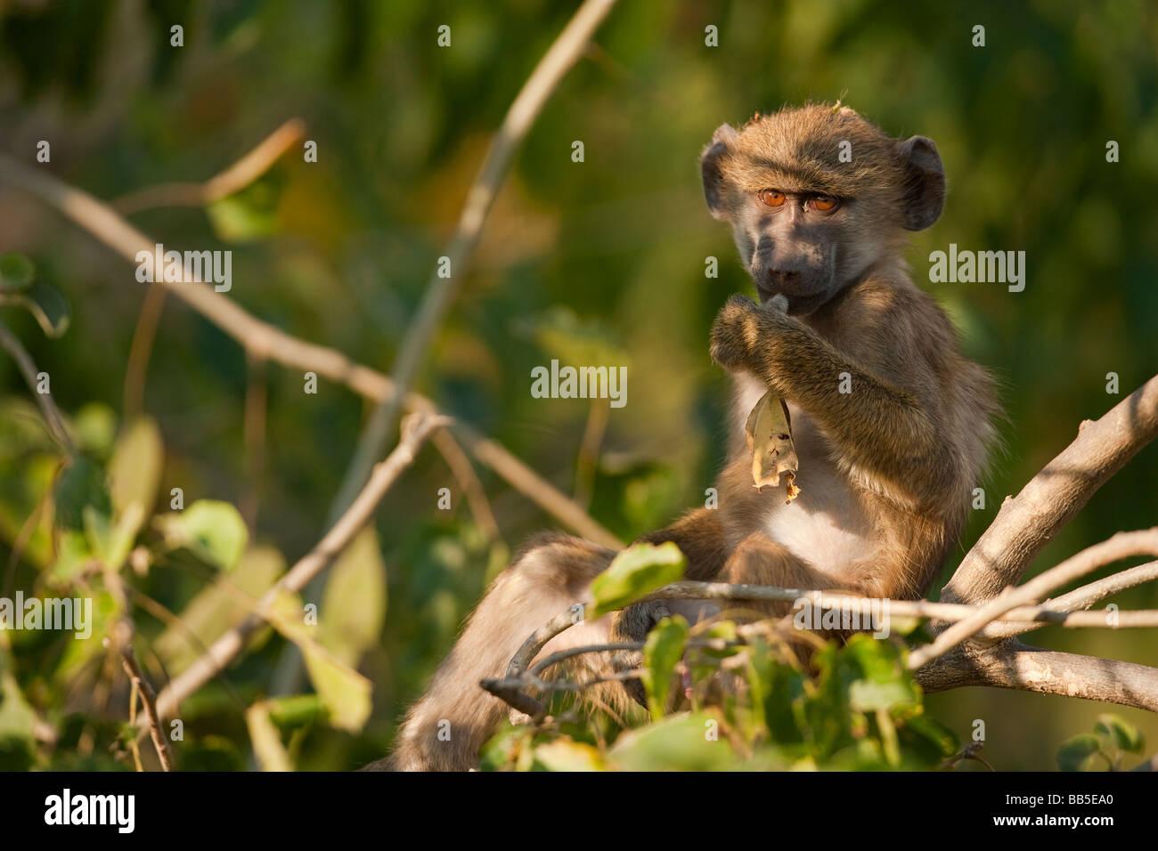Lindo mono araña africana expresiva sentado en el árbol cerca iluminada por la suave luz cálida big Eyes wide open contacto ocular y jugar con stick Foto de stock