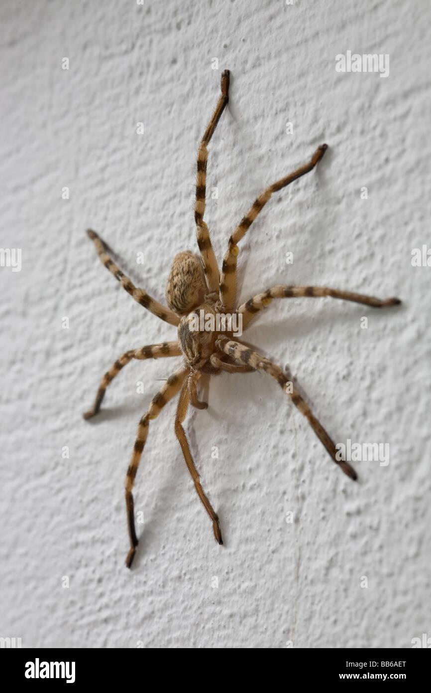 Gran stripey vivero de la araña de tela en la pared de la familia Pisauridae en Grecia Imagen De Stock