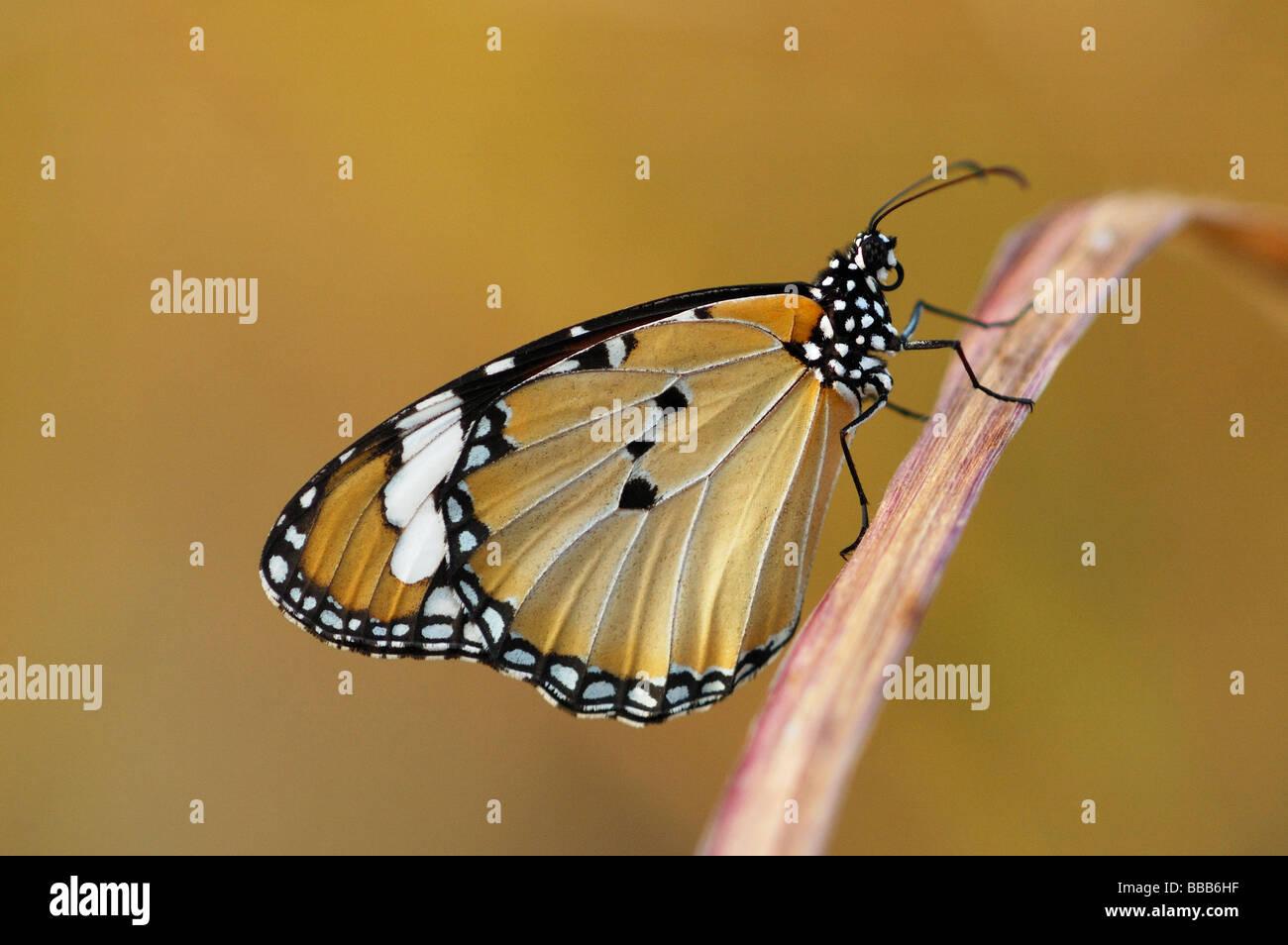 Llanura de mariposa Tigre (Danaus chrysippus) en la isla de Phi Phi, Tailandia Imagen De Stock