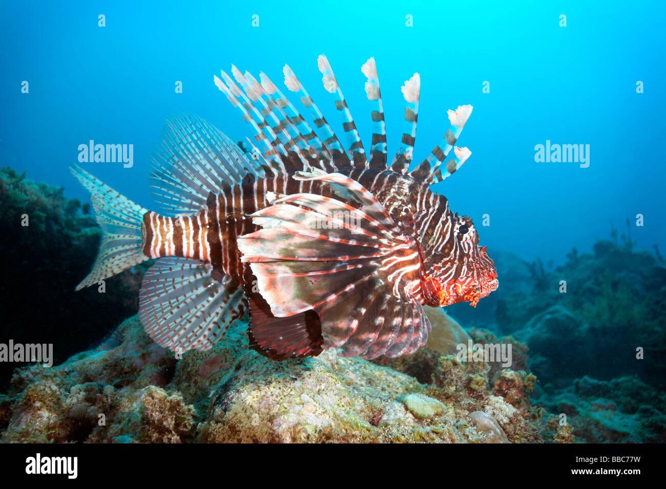 El pez león en el Arrecife Mikanda, Zanzíbar Imagen De Stock