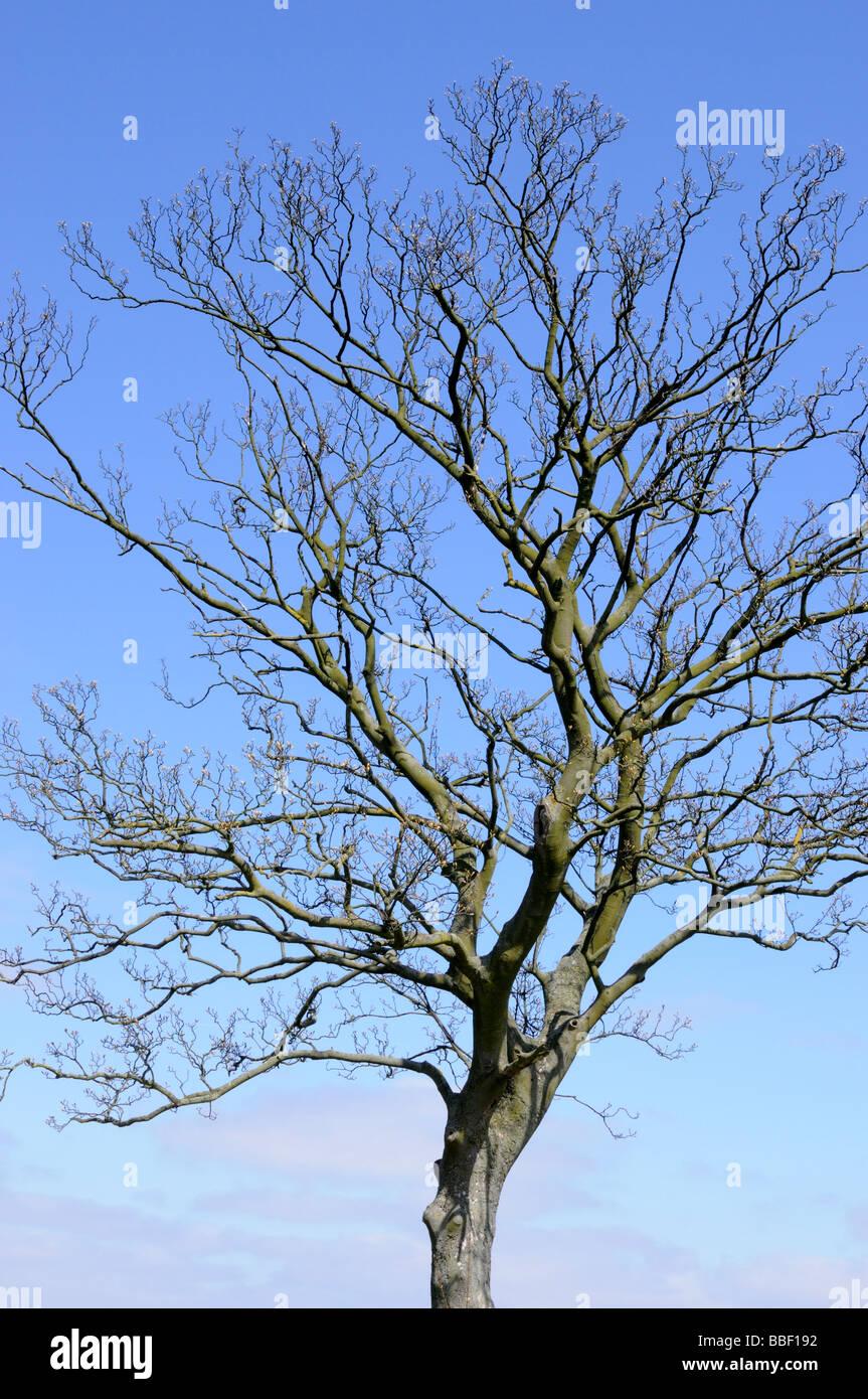 Un árbol, apenas esbozados en ciernes contra un cielo azul Imagen De Stock