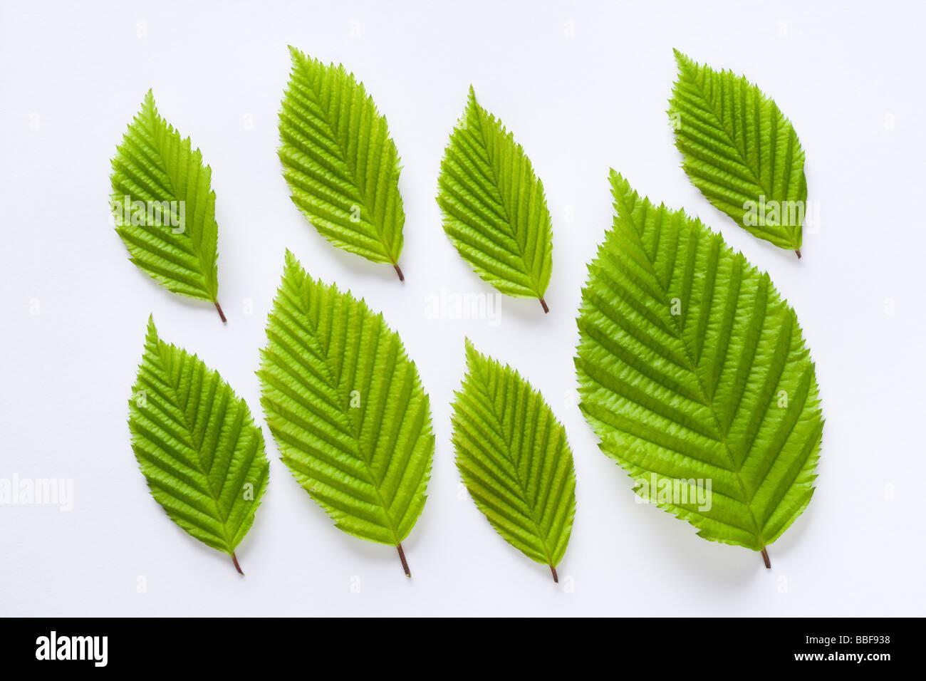Hojas del árbol carpe, Carpinus betulus. Imagen De Stock
