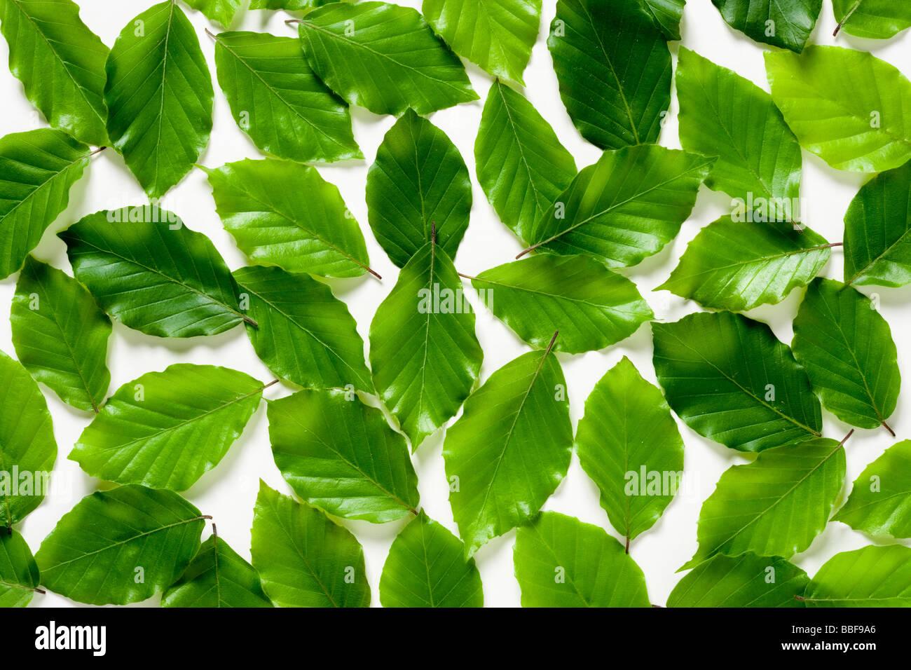 Hojas de hayas. Fagus sylvatica. UK Imagen De Stock