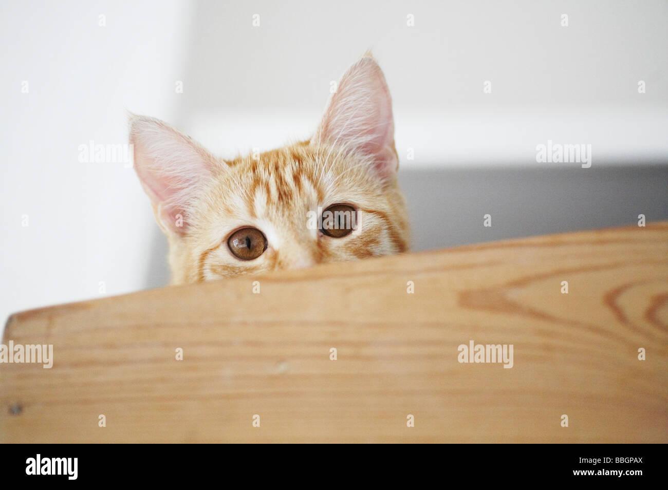 Impertinente naughty cat kitten ocultar jugando al escondite de jengibre atigrado pet Imagen De Stock