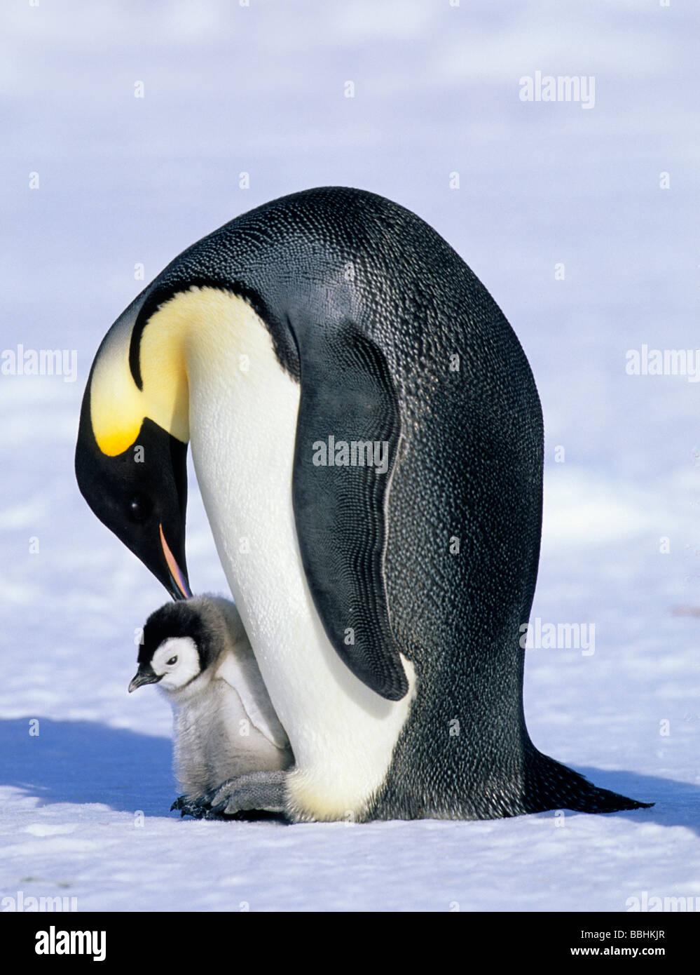 El pingüino emperador Aptenodytes forsteri Cabo Crozier Mar de Ross en la Antártida Imagen De Stock
