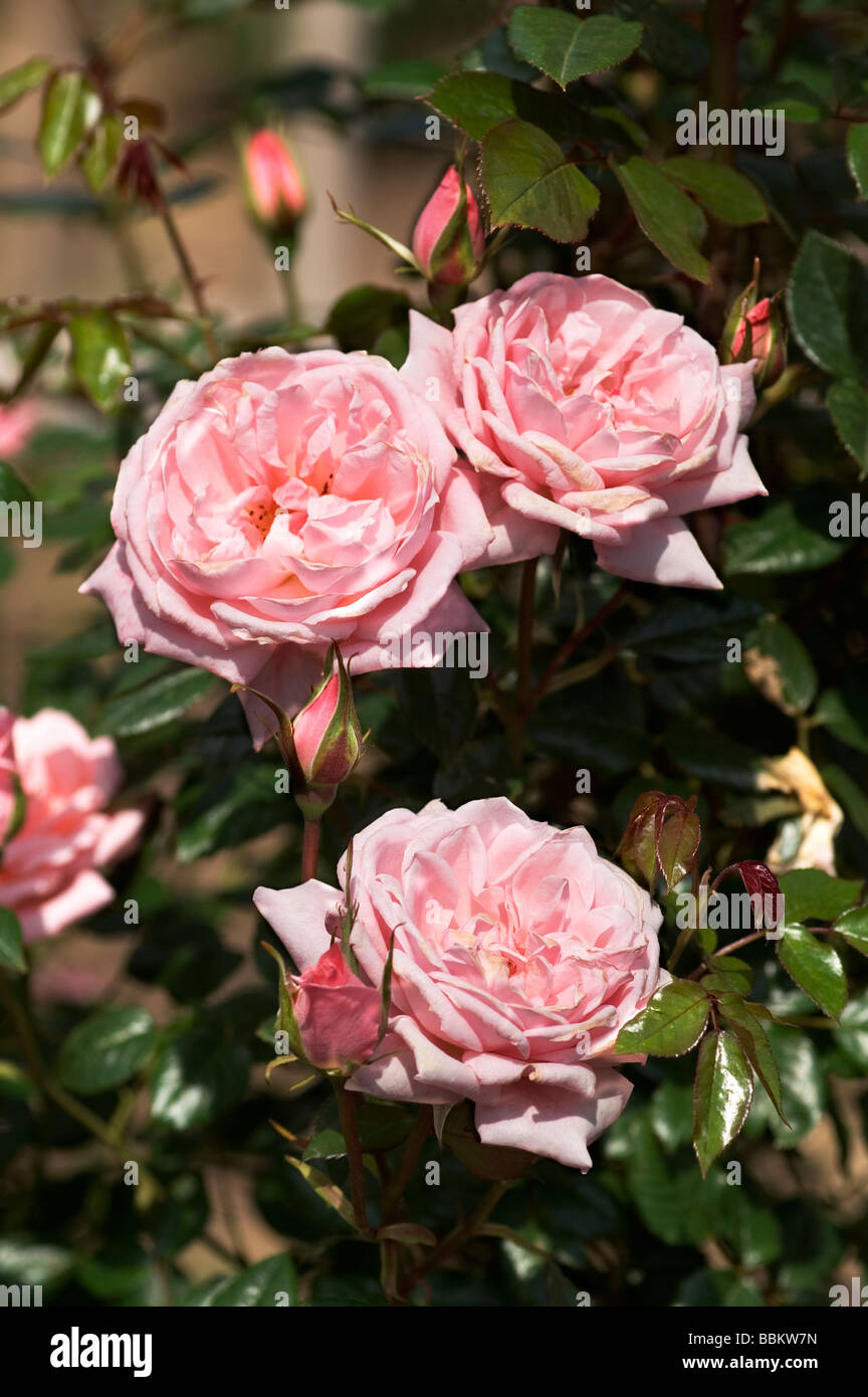 Flores y capullos de rosa la escalada 'Star perfección'; Imagen De Stock