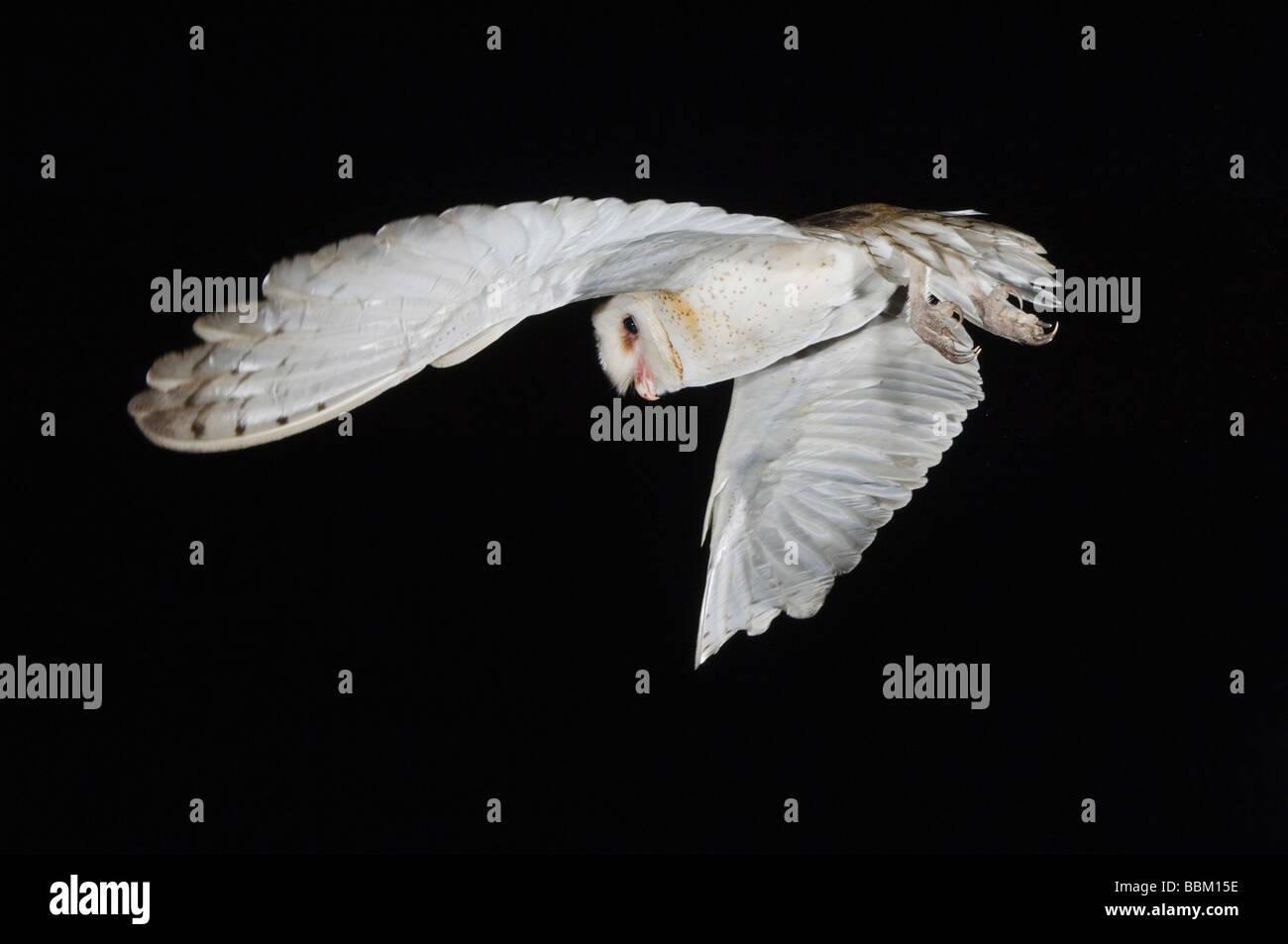 Lechuza Tyto alba para Adultos del Condado de Willacy Valle Río Grande, Texas, EE.UU. Mayo de 2007 Imagen De Stock