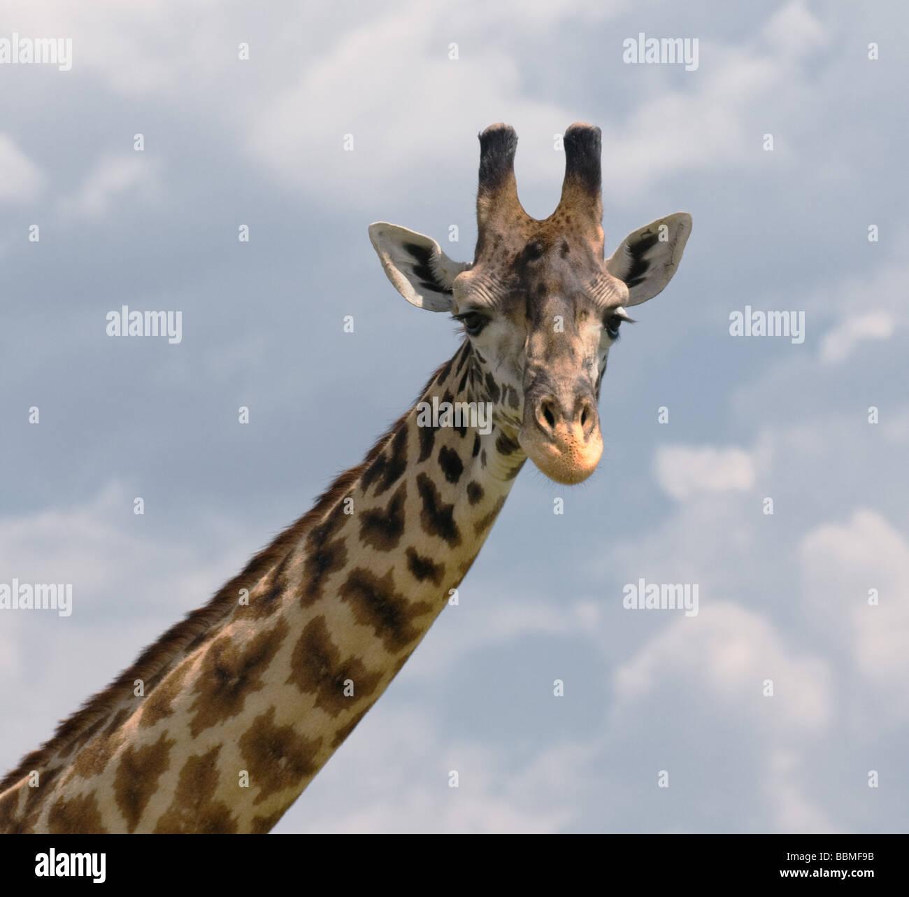 Cabeza de jirafa sobre cielo azul Imagen De Stock