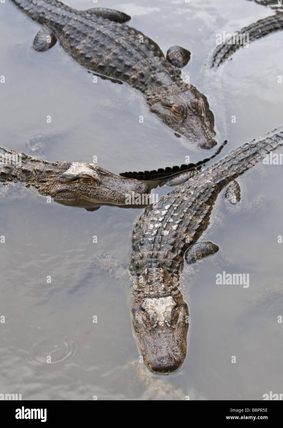 Mosca de Colorado Gators Colorado Alligator Farm y el parque de reptiles Imagen De Stock