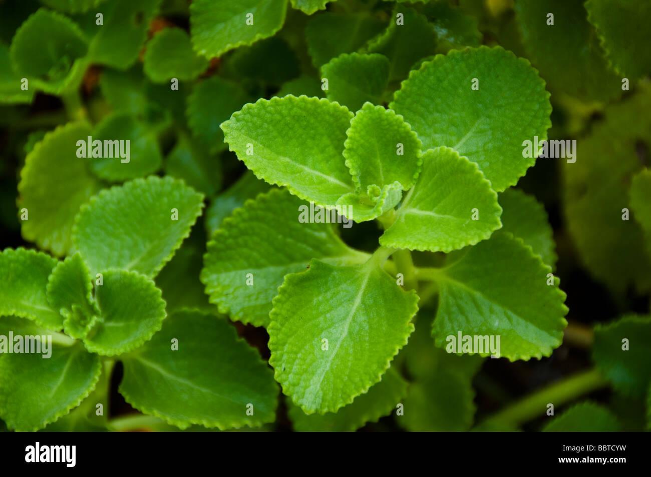 Plantas medicinales borraja país indio o Coleus amboinicus India, Kerala Imagen De Stock