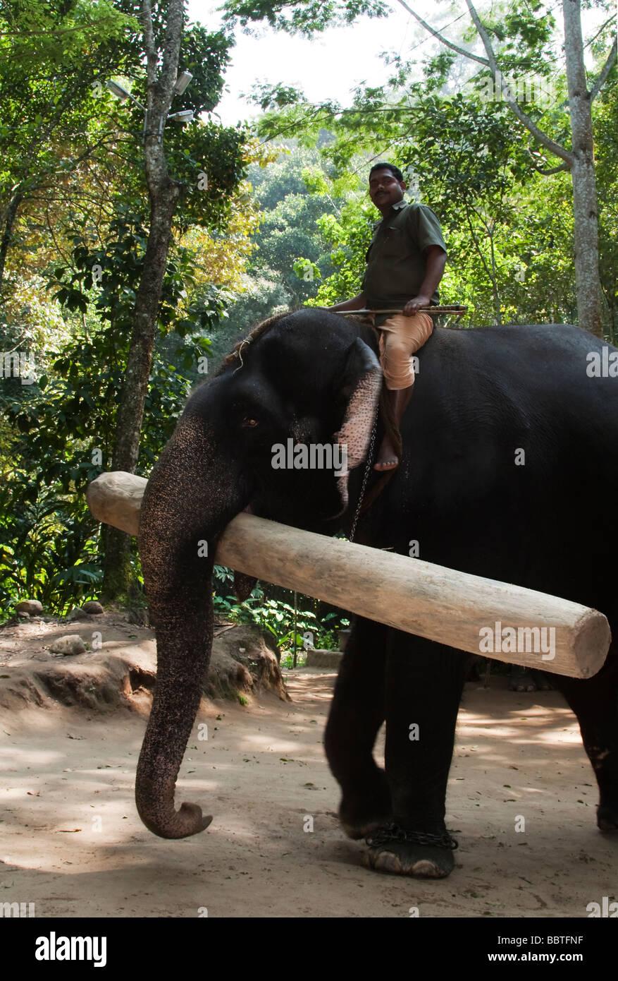 La India Kerala interno Peryar elefante asiático y mahout con registro de pesada en el campamento de elefantes Imagen De Stock