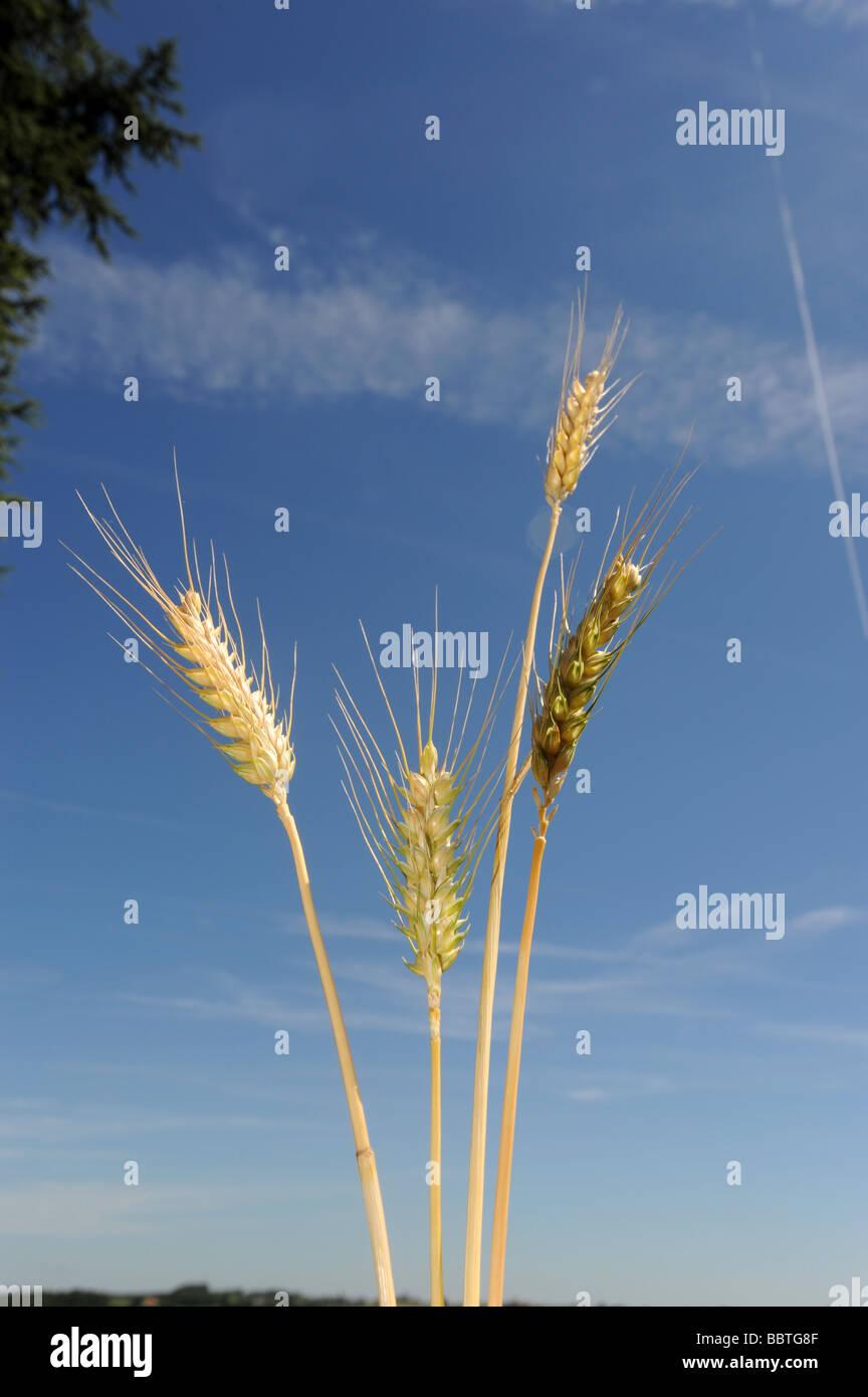 Espigas de cebada la maduración contra un cielo azul Imagen De Stock