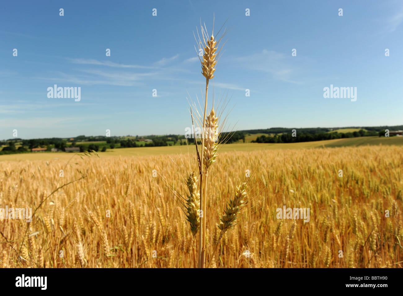 Campos de cebada Imagen De Stock