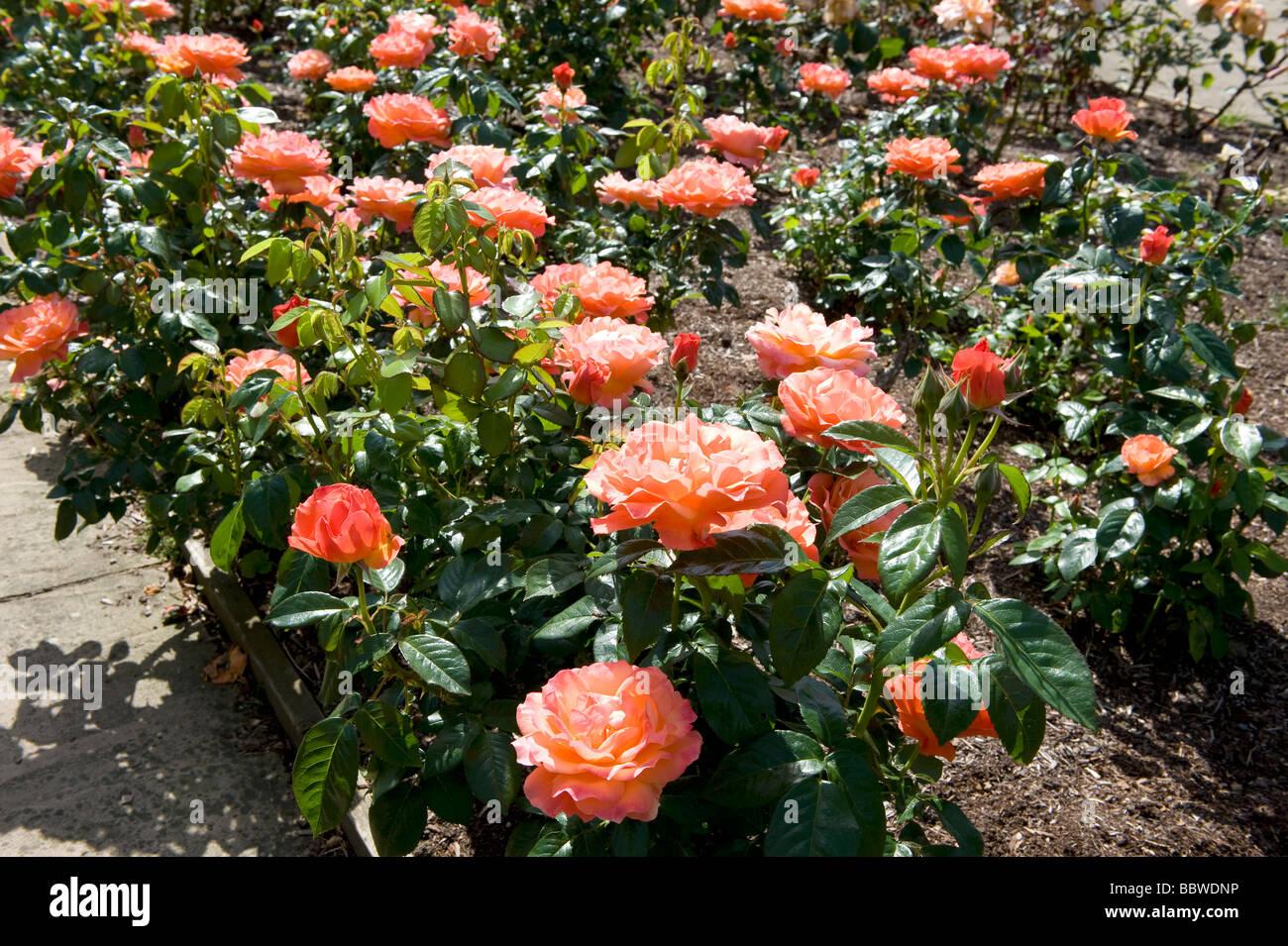 Rose Beca 'Harwelcome' Imagen De Stock