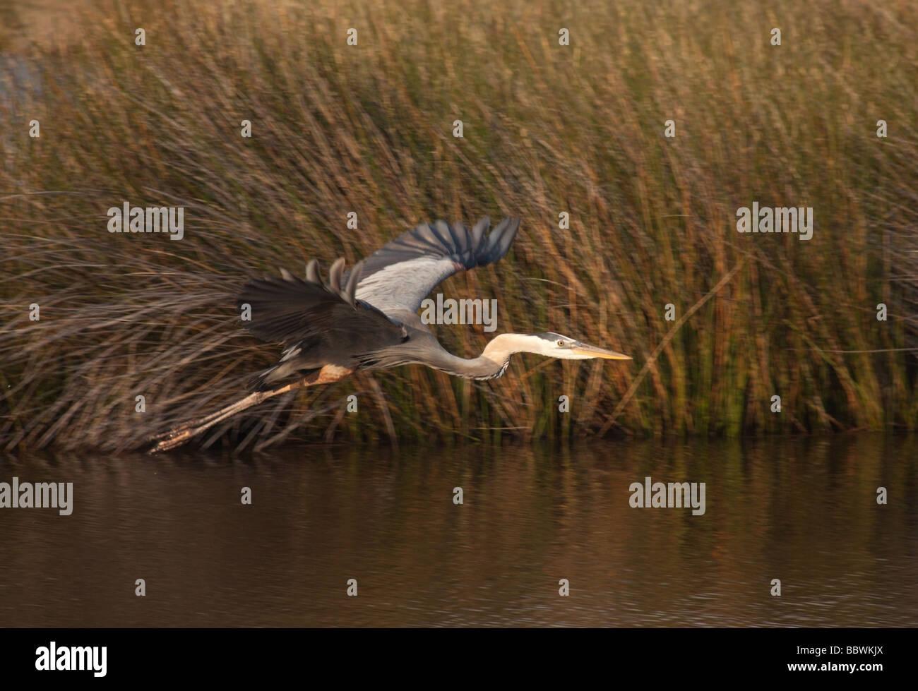 Great Blue Heron en vuelo, el Refugio Nacional de Vida Silvestre de San Marcos, Florida Foto de stock