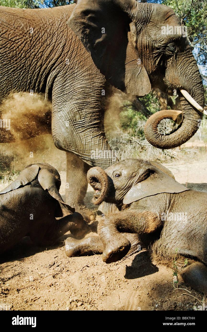Elefante Africano Loxodonta africana joven calfs interactuando y polvo bañarse Sudáfrica Dist el África Imagen De Stock