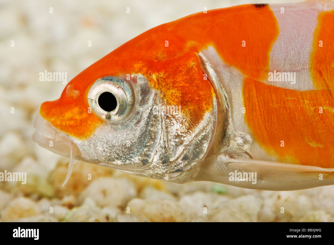 Peces Koi variedad domesticada de la carpa común Cyprinus carpio criados en diferentes patrones de color contra Imagen De Stock