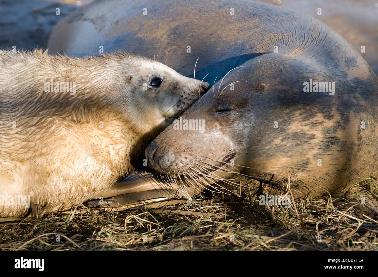 Junta gris Alantic Vaca y foca nacida Pup Imagen De Stock