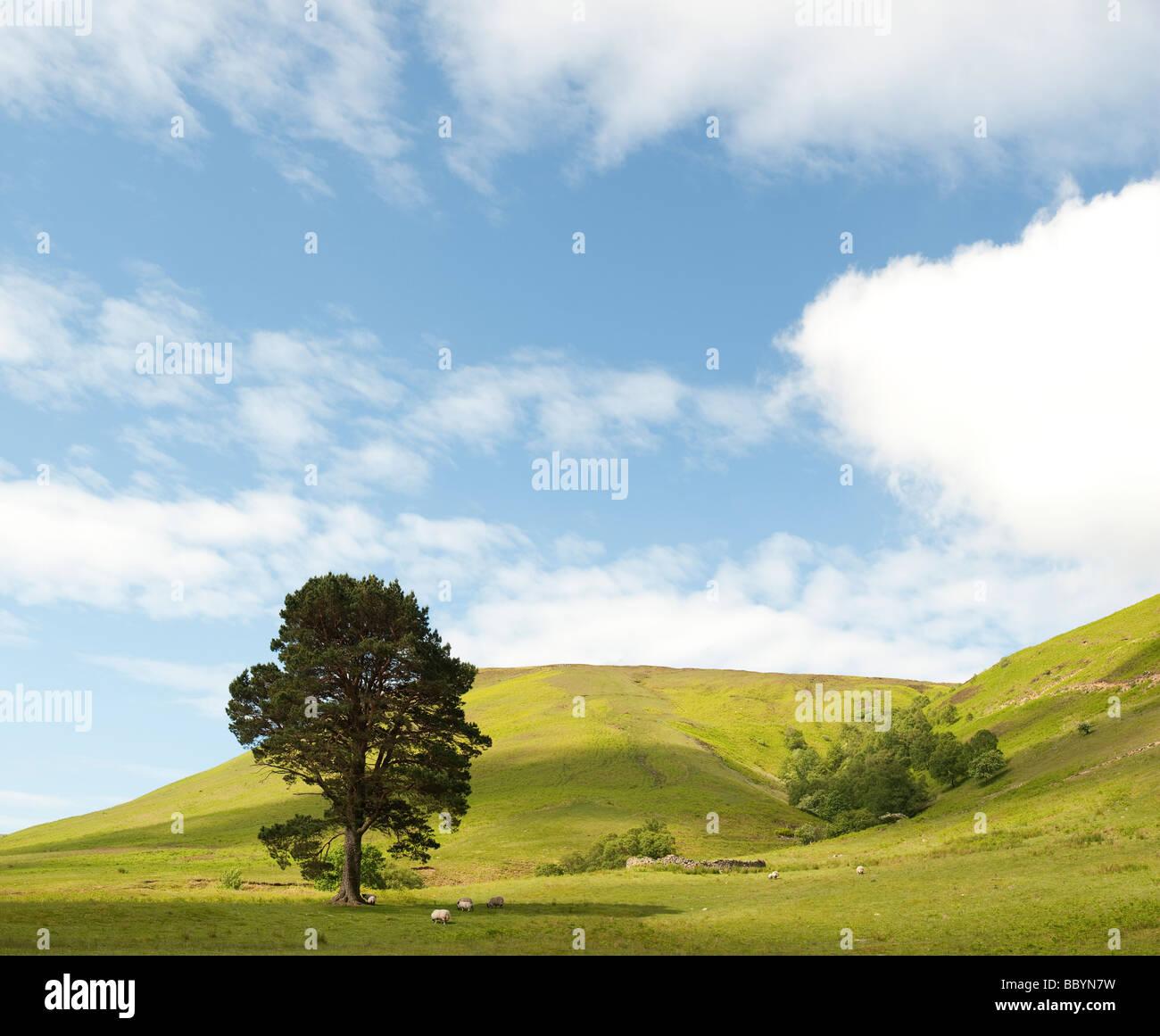 Pinus sylvestris. Único árbol de pino silvestre en las onduladas colinas de la frontera escocesa campiña. Imagen De Stock