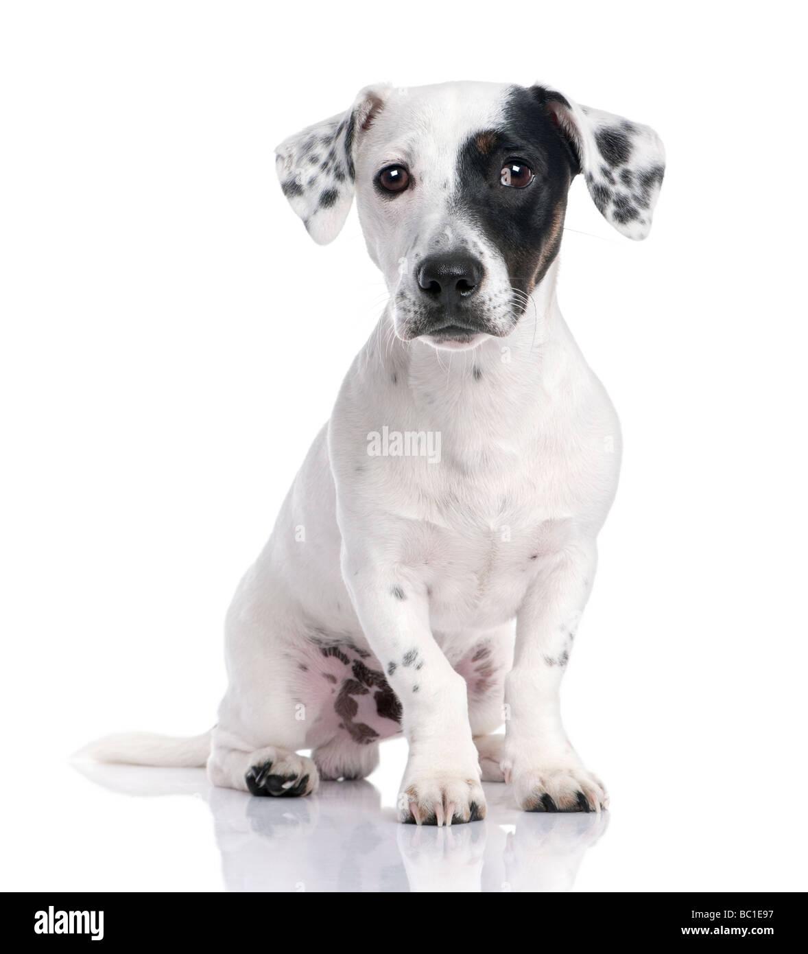 Jack Russell cachorro aislado y sentado delante de la cámara. Imagen De Stock