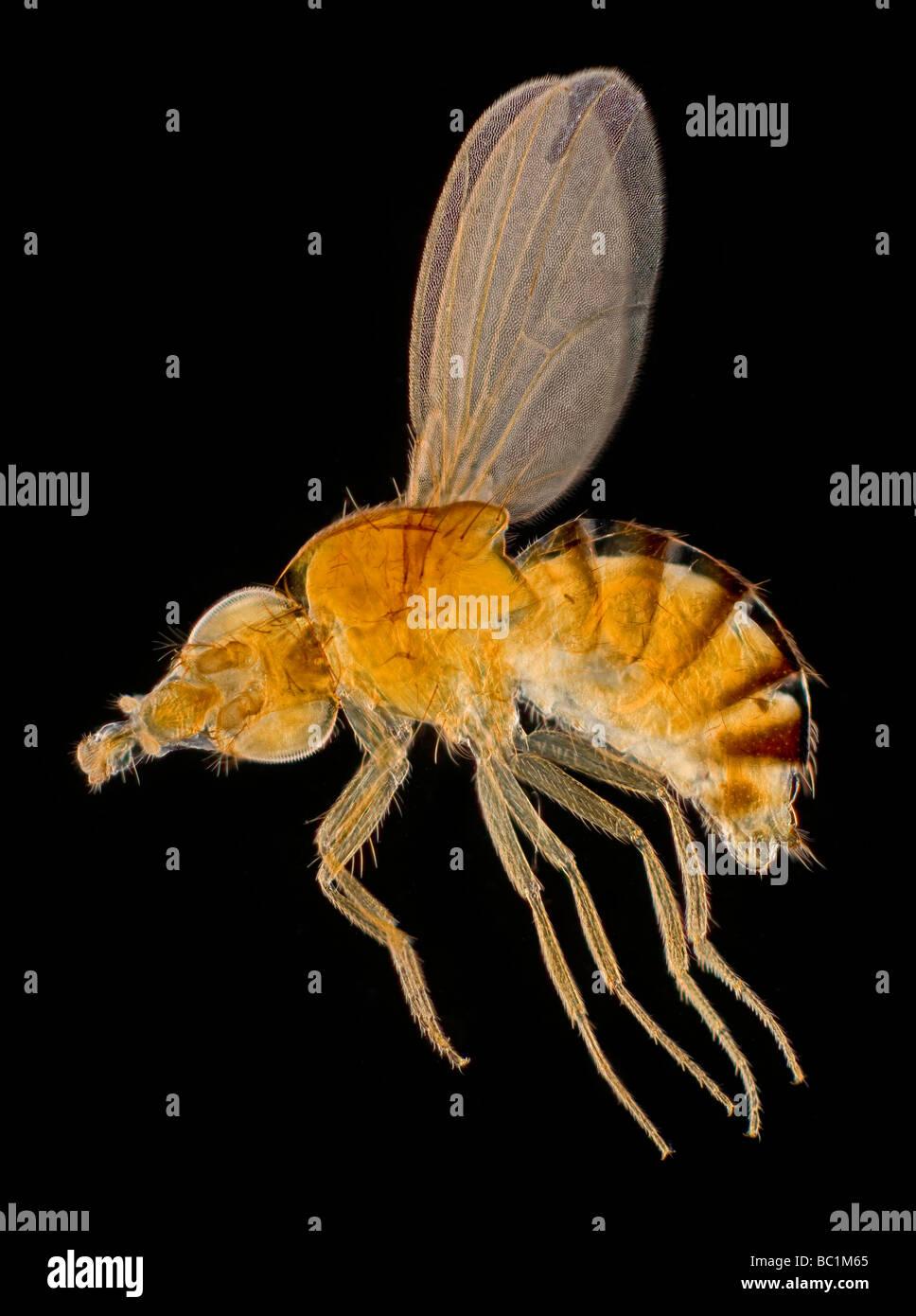 Los ojos blancos en Drosophila mosca del vinagre o mosca de la fruta, darkfield microfotografía Imagen De Stock