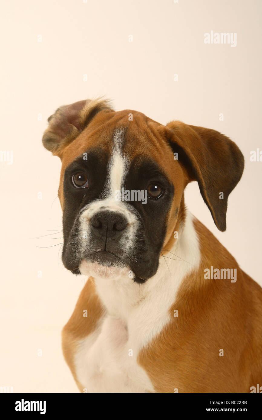 German Boxer Puppies Fotos E Imagenes De Stock Alamy