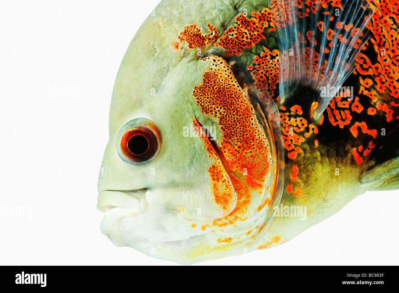 Oscar peces tropicales de agua dulce Peces Astonotus ocellatus Dist Brasil Guinea Francesa Colombia y Perú, Imagen De Stock